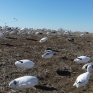 NW Missouri snow goose decoy spread
