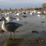 Southeast Missouri snow goose full body decoy spread