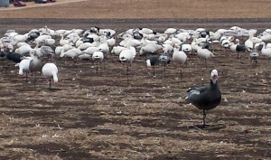 The Snow Goose Decoy Dilemma…Full Body or Windsock
