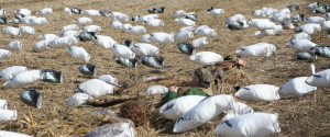 Better Hidden Blinds Equal a Bigger Pile Snow Geese