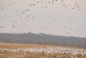 Why Has Snow Goose Hunting in Missouri Become So Popular?